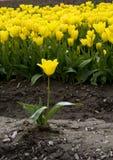 желтый цвет тюльпана Стоковые Фото