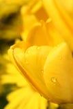 желтый цвет тюльпана Стоковая Фотография RF