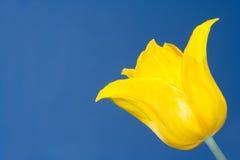 желтый цвет тюльпана стоковое изображение rf