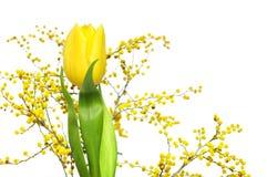 желтый цвет тюльпана mimosa Стоковые Изображения
