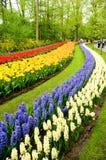 желтый цвет тюльпанов гиацинтов красный Стоковые Фото
