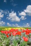 желтый цвет тюльпанов красной весны поля Стоковые Изображения RF
