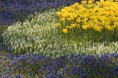 желтый цвет тюльпанов круга Стоковые Изображения RF