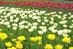 желтый цвет тюльпанов лиловый белый Стоковые Изображения RF