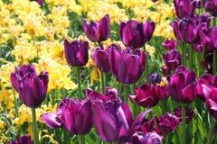 желтый цвет тюльпанов лиловый Стоковые Фотографии RF
