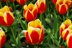 желтый цвет тюльпанов пламени красный Стоковые Фотографии RF