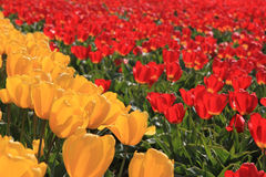 желтый цвет тюльпанов поля красный Стоковые Фото