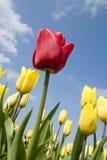 желтый цвет тюльпанов тюльпана поля красный Стоковые Фотографии RF
