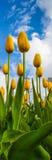 желтый цвет тюльпанов цветеня Стоковые Изображения RF