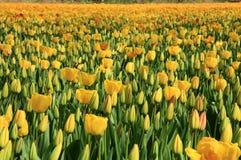 желтый цвет тюльпанов цветка Стоковая Фотография RF