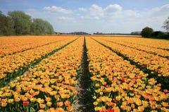 желтый цвет тюльпанов цветка Стоковое Изображение