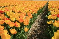 желтый цвет тюльпанов цветка Стоковые Фотографии RF