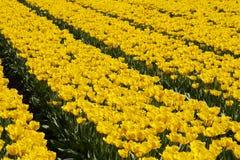 желтый цвет тюльпанов Стоковое Фото