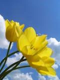 желтый цвет тюльпанов Стоковая Фотография