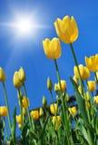 желтый цвет тюльпанов Стоковые Изображения RF