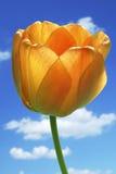 желтый цвет тюльпанов Стоковые Изображения