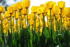 желтый цвет тюльпанов стоковые фото