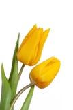 желтый цвет тюльпанов Стоковое Изображение RF