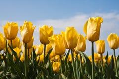 желтый цвет тюльпанов Стоковая Фотография RF
