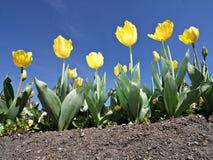 желтый цвет тюльпанов floriade s празднества canberra Стоковая Фотография RF