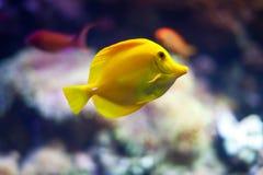 желтый цвет тяни рыб Стоковое Изображение