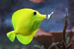 желтый цвет тяни рыб Стоковая Фотография RF