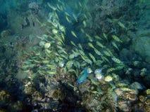 желтый цвет тяни школы попыгая рыб Стоковое Фото