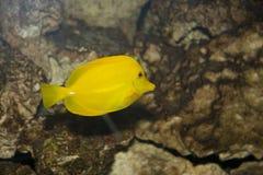 желтый цвет тяни Стоковое Изображение