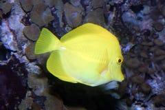 желтый цвет тяни Стоковое Изображение RF