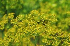 желтый цвет укропа стоковое изображение rf