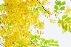 Желтый цвет фистулы кассии цветет лето маргаритки с годом сбора винограда s фильтра стоковая фотография