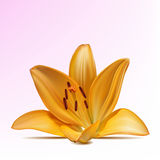 желтый цвет фото лилии реалистический Стоковое Изображение