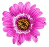 желтый цвет Харта gerbera пурпуровый Стоковая Фотография RF