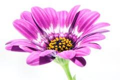 желтый цвет Харта gerbera пурпуровый Стоковые Фото
