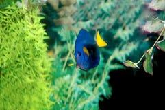 желтый цвет хирурга рыб завуалированный кабелем Стоковые Изображения RF