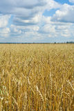 желтый цвет хлебоуборки зерна готовый Стоковое Изображение