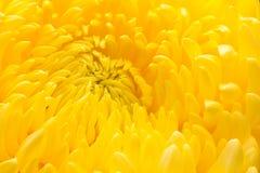 желтый цвет хризантемы близкий поднимающий вверх Стоковые Изображения RF