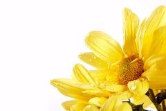 желтый цвет хризантем Стоковые Изображения RF