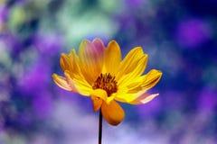 желтый цвет цветеня Стоковые Фото