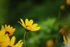 Желтый цвет цветет маргаритка стоковые изображения