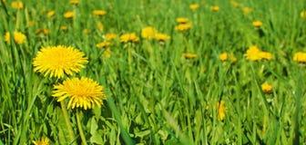 Желтый цвет цветет одуванчики и предпосылка травы стоковые изображения rf