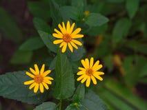 Желтый цвет цветет треугольник в саде между зелеными листьями стоковое фото