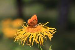 желтый цвет цветка бабочки померанцовый Стоковые Изображения