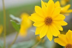 желтый цвет цветка живой стоковое фото