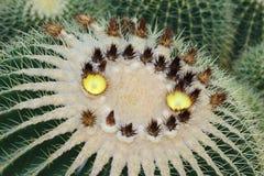 Желтый цвет цветка кактуса, smiley кактуса Стоковые Изображения RF