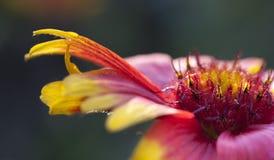 желтый цвет цветка красный Стоковое фото RF
