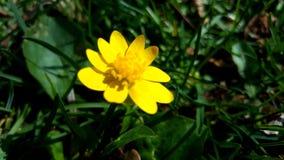 желтый цвет цветка малый Стоковые Фотографии RF