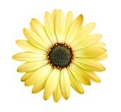 желтый цвет цветка маргаритки Стоковая Фотография
