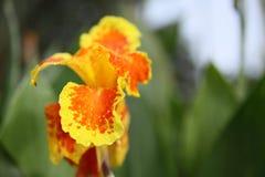 желтый цвет цветка поля глубины canna отмелый Стоковые Изображения