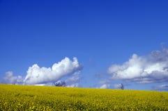 желтый цвет цветка поля сурепки Стоковое Изображение